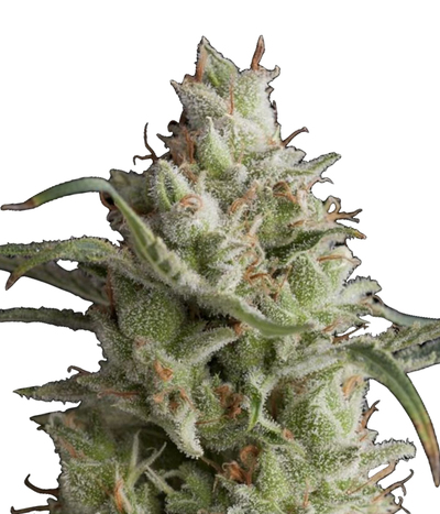 Humboldt-seeds-organization-og-kush-regular