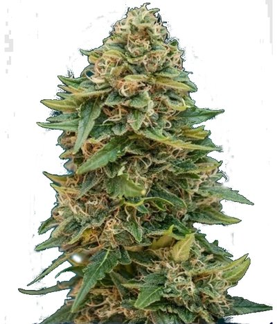 Autoskunk47as
