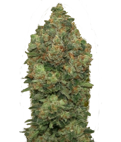Advanced-seeds-auto-critical-soma