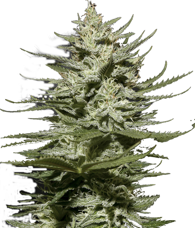 Green-house-seeds-the-church-cbd