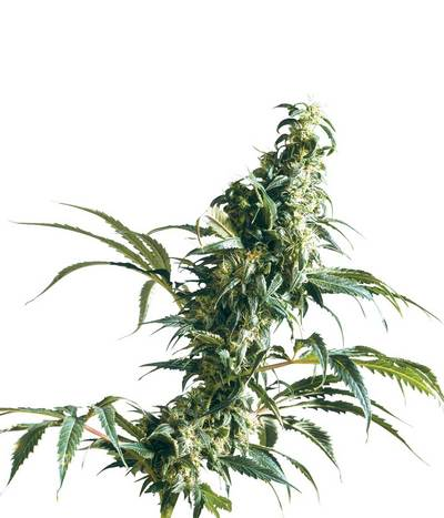 Sensi-seeds-mexican-sativa