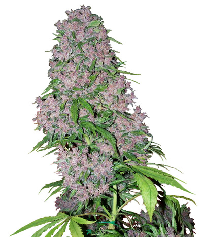 White-label-purple-bud-automatic
