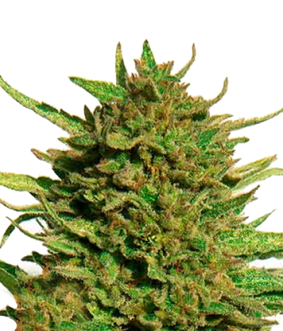 Barney-s-farm-critical-kush-regular