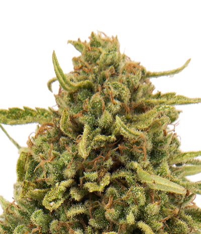 Barney-s-farm-widow-remedy-regular