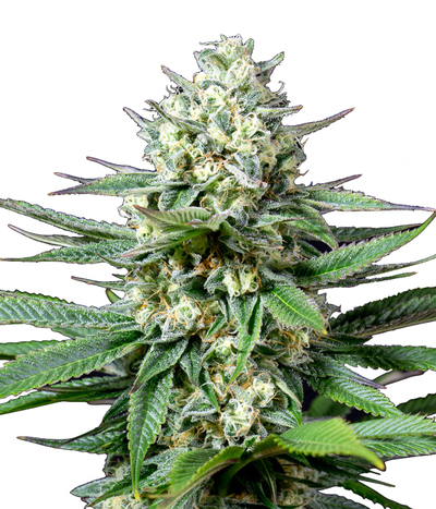Medical-seeds-og-kush-cbd