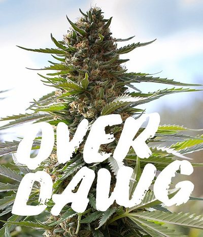 Medical-seeds-over-dawg