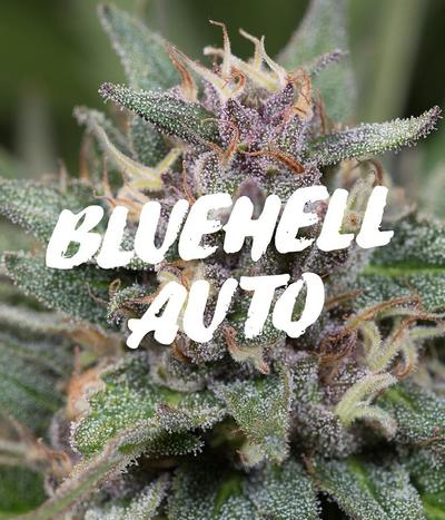 Medical-seeds-bluehell-auto