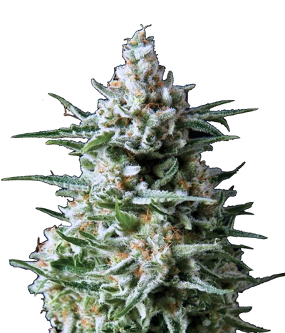 Medical-seeds-y-griega-cbd