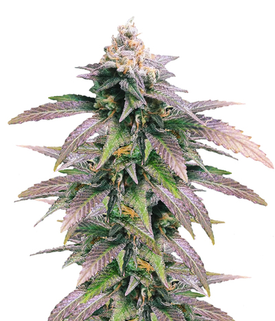 Female-seeds-dream-berry