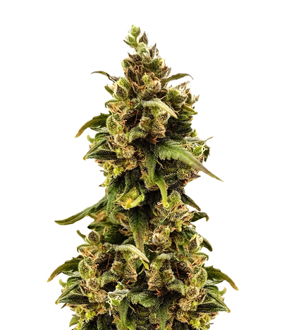 Female-seeds-critical-sour