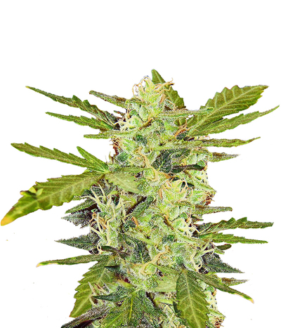 Pyramid-seeds-auto-fresh-candy