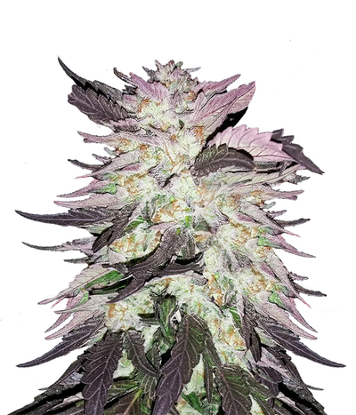 Medical-seeds-mendocino-purple-kush