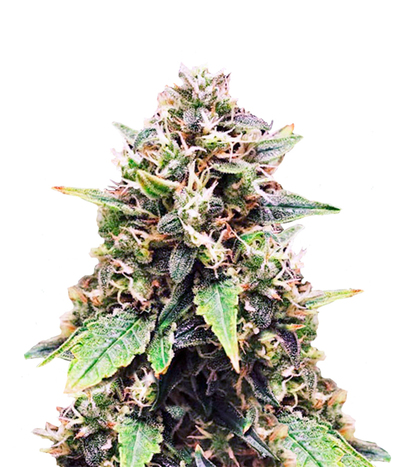 Sweet-seeds-sweet-skunk-fast-version