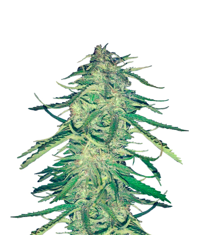 Female-seeds-easy-sativa
