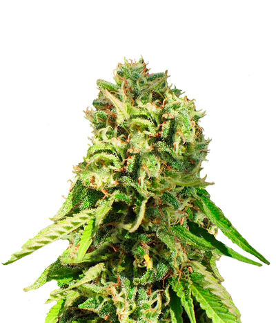 Female-seeds-nev-haze