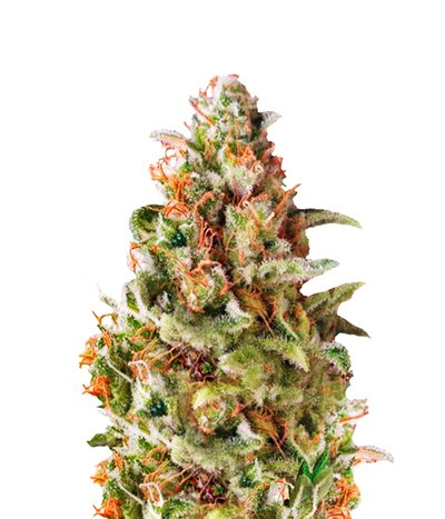 Pyramid-seeds-american-pie