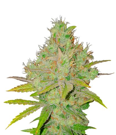 Spliff-seeds-snow-white