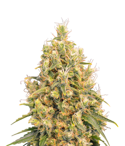 Spliff-seeds-cbd-spliff-berry