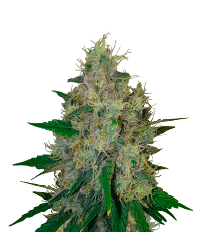 Spliff-seeds-purple-berry-kush