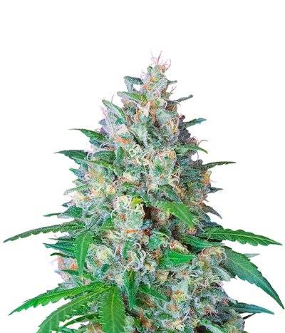 Sweet-seeds-crystal-candy-f1-fast-version