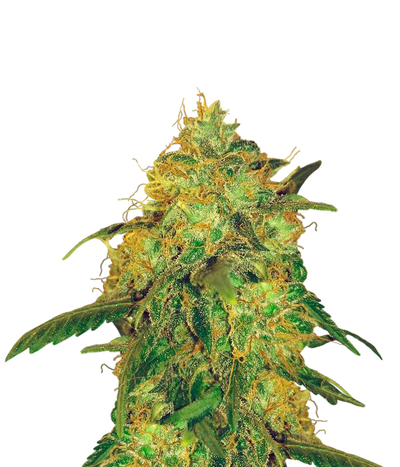 Delicious-seeds-jagg-kush