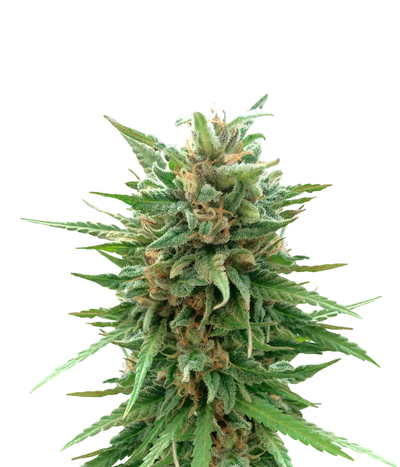 Delicious-seeds-marmalate-regular