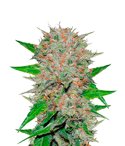 Delicious-seeds-deep-mandarin