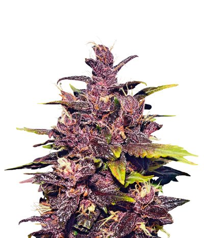 Delicious-seeds-auto-dark-purple