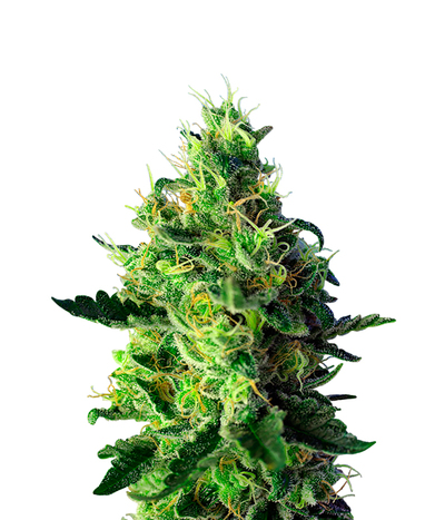 Sweet-seeds-sweet-pure-cbd