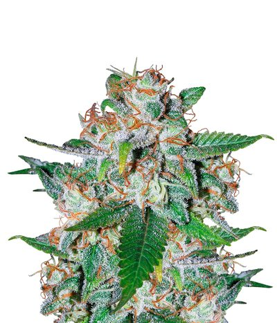 Delicious-seeds-northern-light-blue-auto