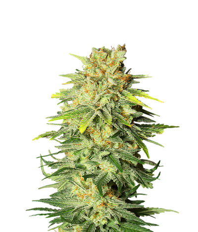 Sweet-seeds-killer-kush-fast-version