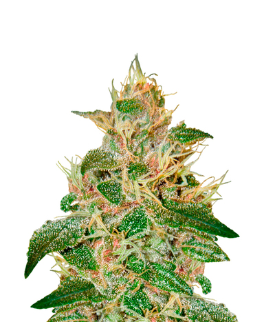 Green-house-seeds-pure-kush