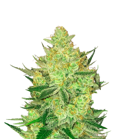 Crockett-family-farms-crockett-s-tangie
