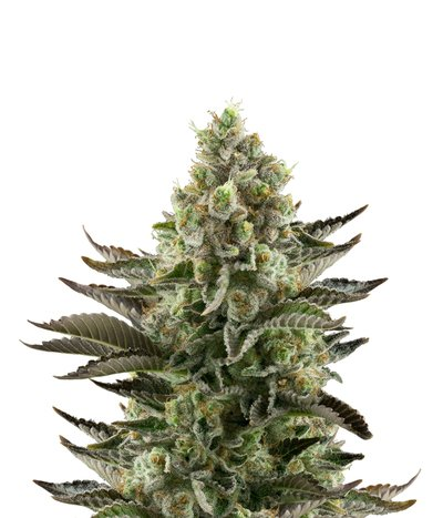 Dinafem-white-widow