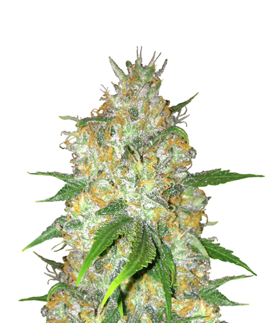 Dinafem-blue-widow