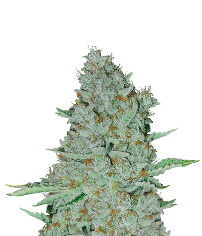 Barney-s-farm-sweet-tooth-auto