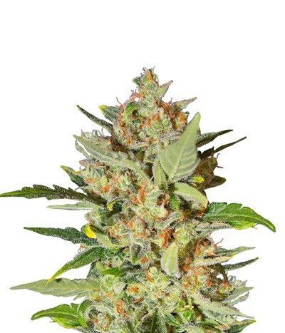 Sweet-seeds-crystal-candy-auto