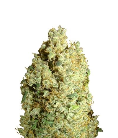 Green-house-seeds-trainwreck