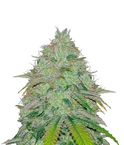 Humboldt-seeds-organization-green-crack