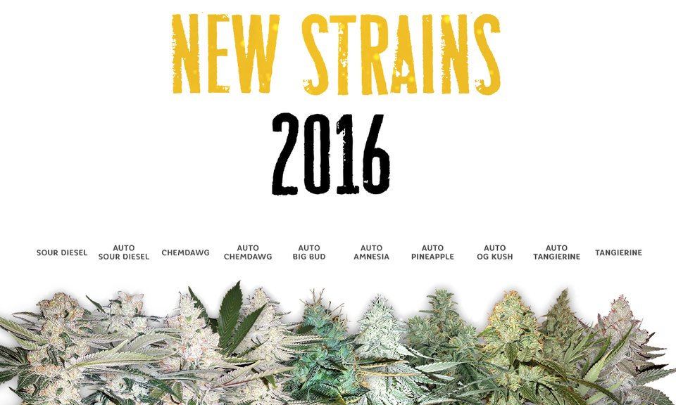 New Strains 2016 From BLK.  Seeds!