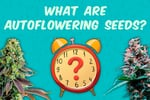 What-are-aitoflower