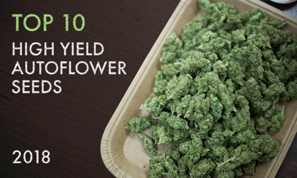 Top 10 High Yield Autoflower Seeds 2018