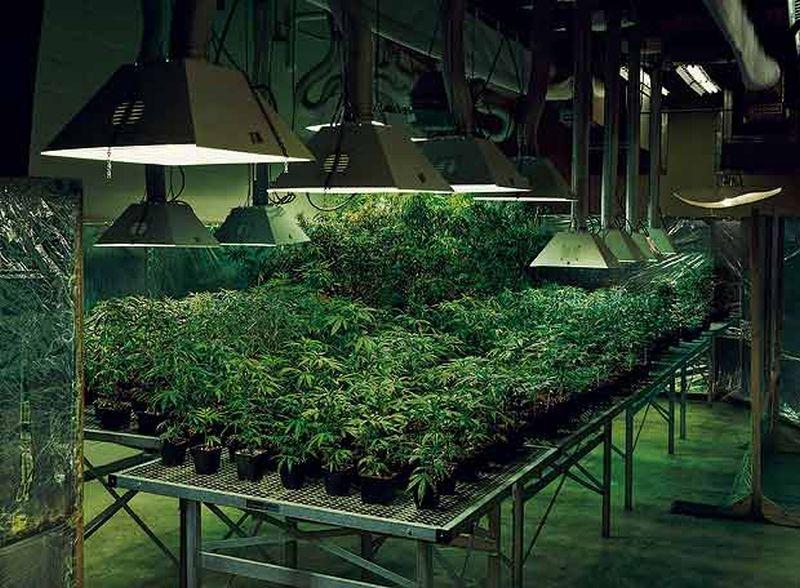 Híbridos de la Marihuana