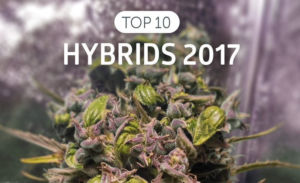 This Time We Are Back With Top10 The Best Hybrids Of 2017 In World Live Now Weed Strains Constantly Crossed And