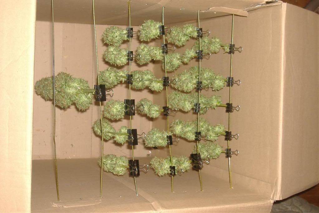 cómo colgar los cogollos de la marihuana