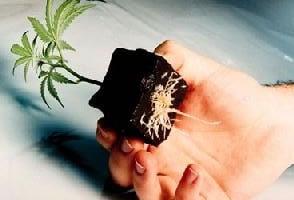 esquejes marihuana