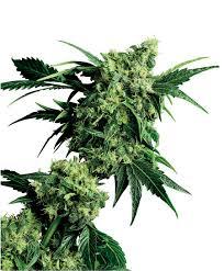 g3 hashplant
