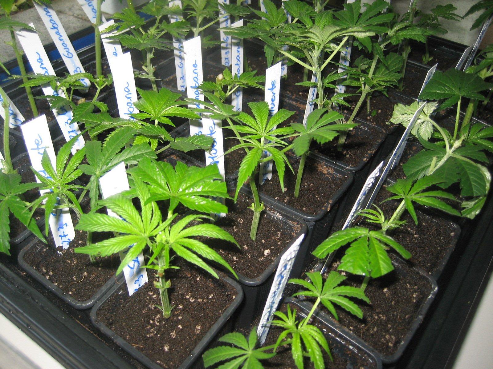 clonar marihuana