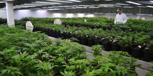Marijuana médicinal