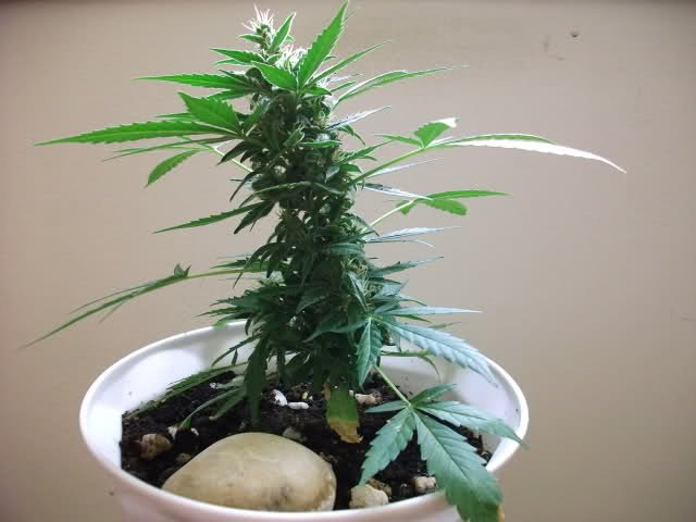 plantas de marihuana enanas
